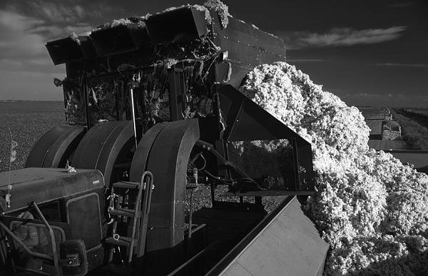 Mountain Dreams - Harvesting Cotton in Texa... Print