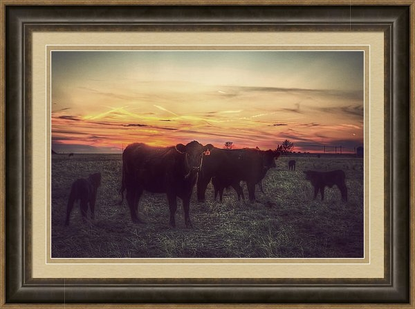 Thomas Zimmerman - Cattle Sunset Print