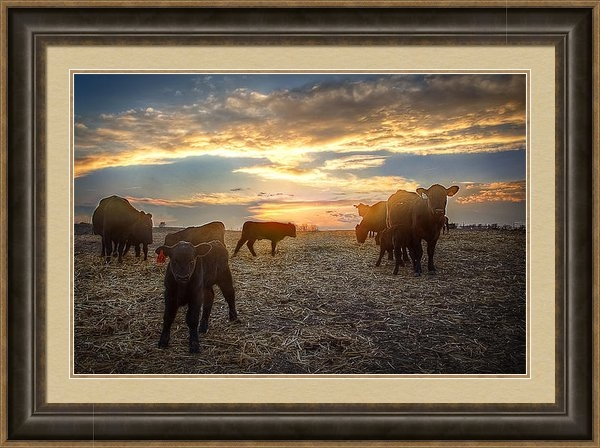Thomas Zimmerman - Cattle Sunset 2 Print