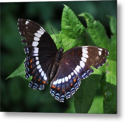 Crystal Johnson - White Admiral Butterfly Print