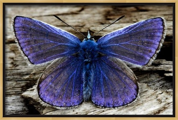 Pierre Leclerc Photography - Small Blue Butterfly On A... Print