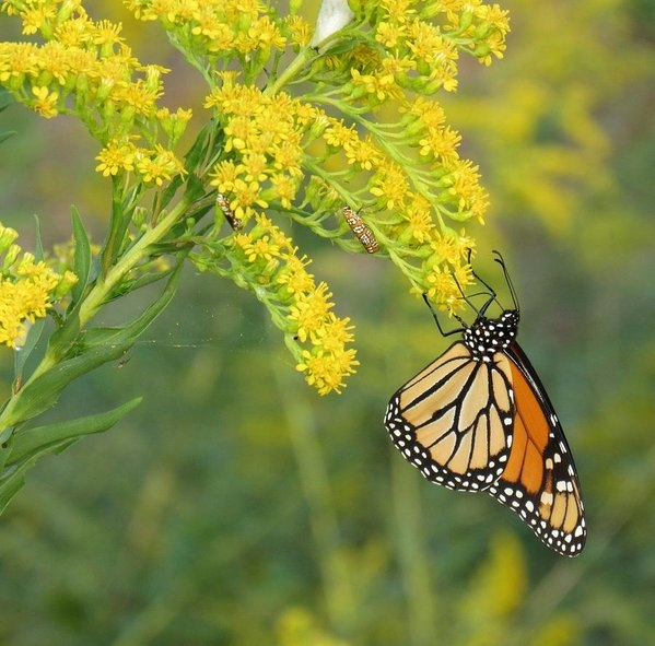 Tonia Delozier - The beauty of a Monarch  Print
