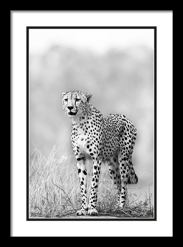 Lyle Gregg - Cheetah on look-out Print