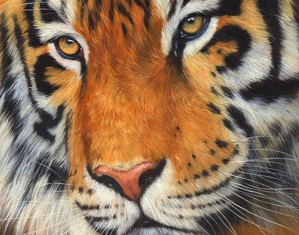 David Stribbling - Tiger Portrait Print