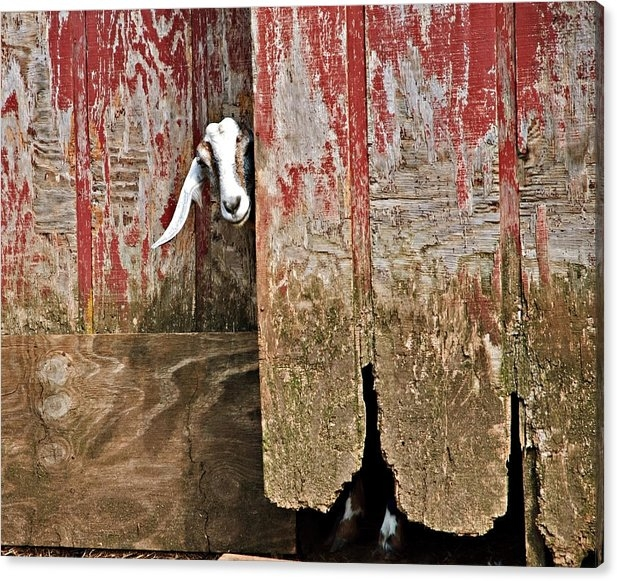 Susan Leggett - Goat and Old Barn Door Print