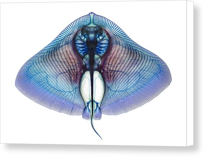 Adam Summers - Butterfly Ray Print