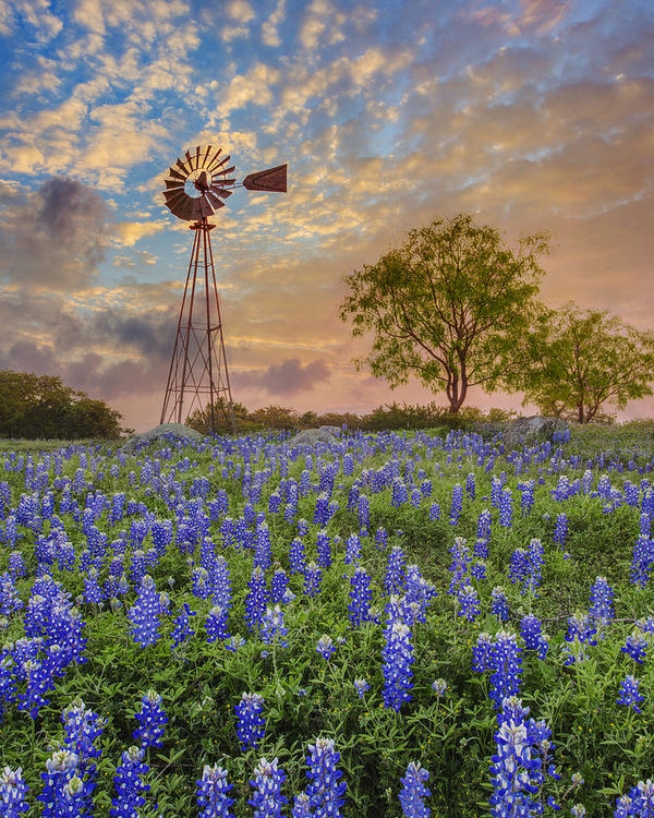Rob Greebon - Bluebonnets Beneath a Win... Print