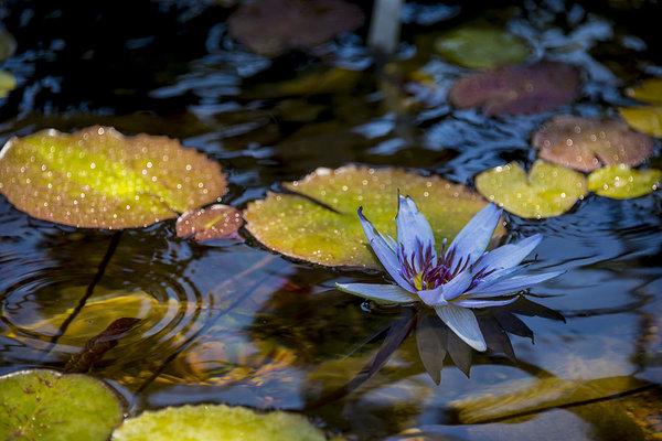 Brian Harig - Blue Water Lily Pond Print
