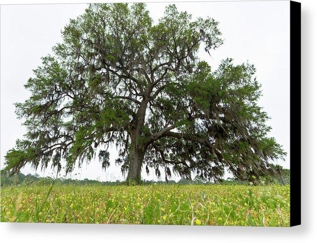 Dustin K Ryan - Giant Live Oak Tree and F... Print