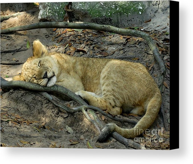 J M Farris Photography - Sleeping Lion Cub 1 Print