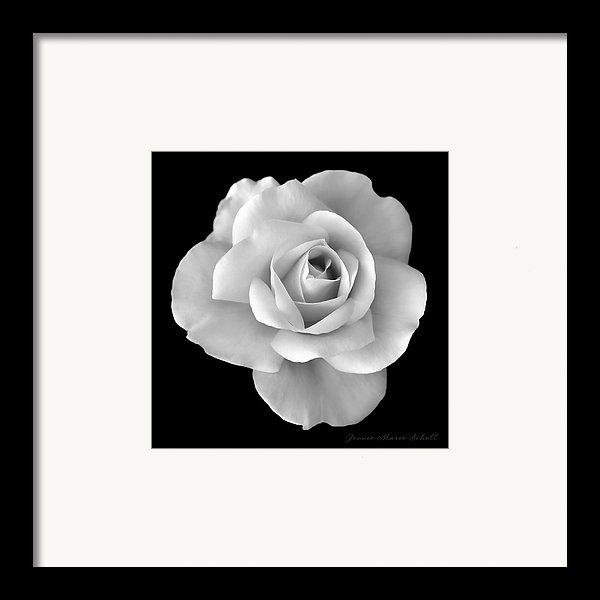 Jennie Marie Schell - White Rose Flower in Blac... Print