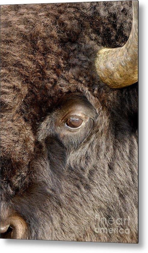 Pamela Talasco - 101107- Bison Art Print