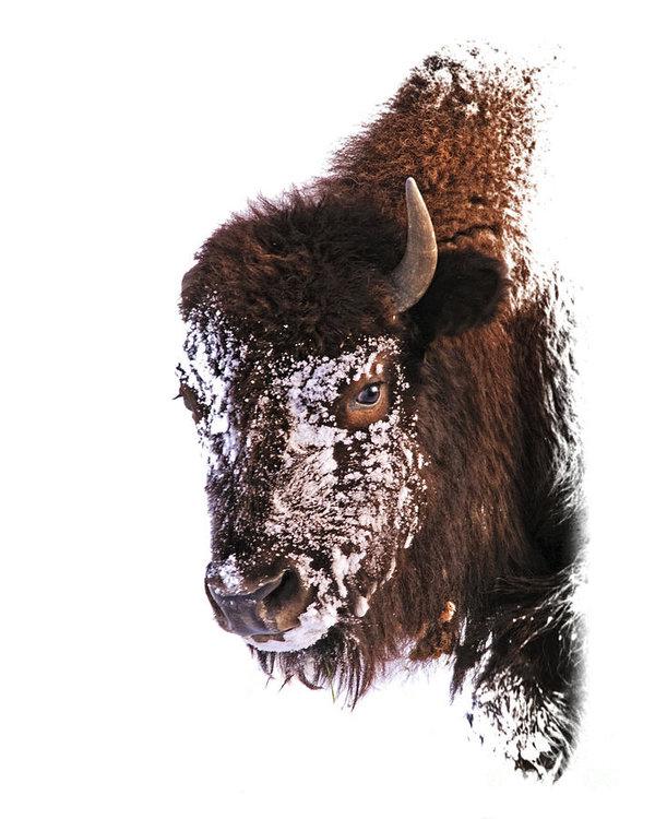 Timothy Flanigan - Winter Face Buffalo Profi... Print