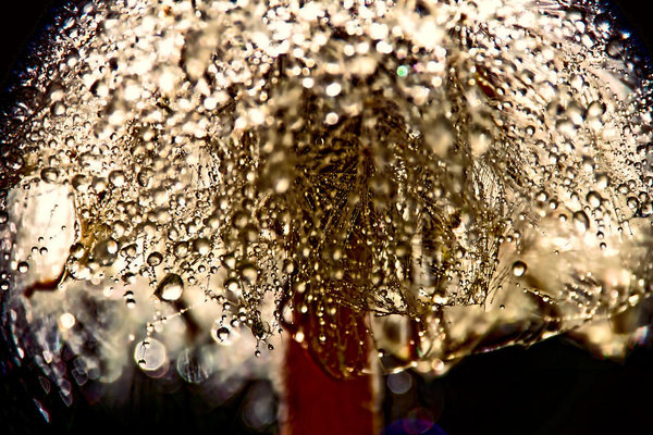 Peggy Collins -  Dandelion Dew in Bronze Print