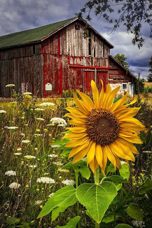 Debra and Dave Vanderlaan - Barn Meadow Flowers Print