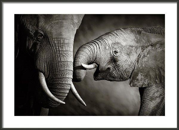 Johan Swanepoel - Elephant affection Print
