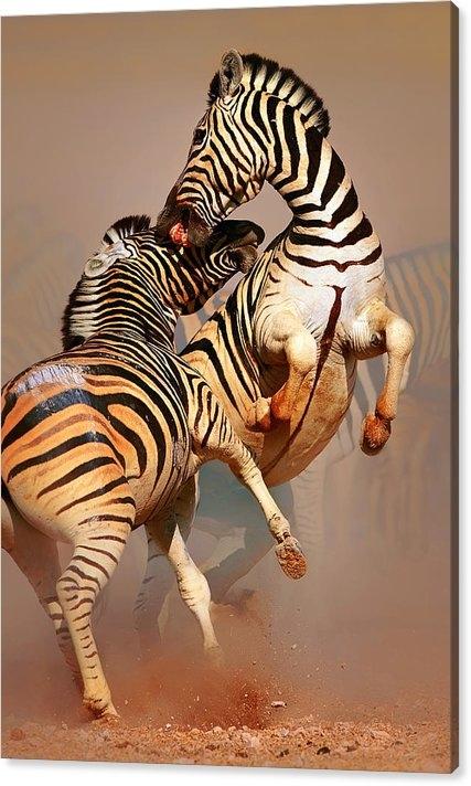 Johan Swanepoel - Zebras fighting Print