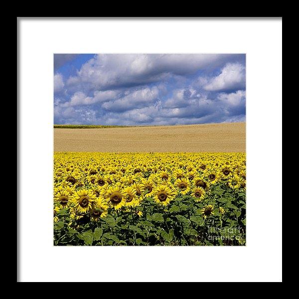 Bernard Jaubert - A field of Sunflowers . A... Print