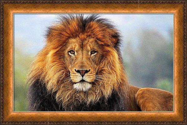 Ellen Henneke - African Lion 1 Print
