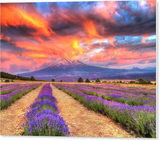 Jeff Leland - Mt. Shasta Lavender Farm Print