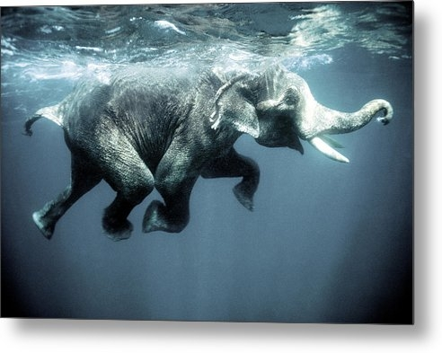 Olivier Blaise - Swimming elephant Print