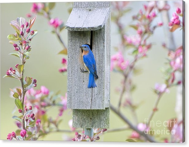 Bonnie Barry - Bluebird Nesting Box Print