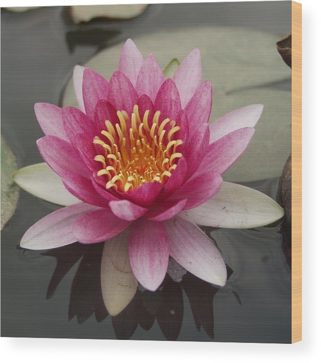 Ronald Olivier - Water lilly Print