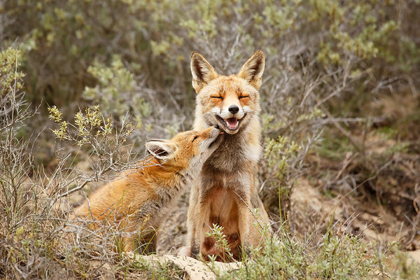 Roeselien Raimond - The Smiling Vixen and the... Print