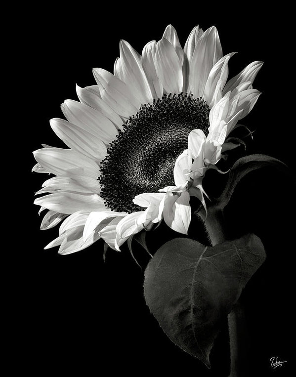 Endre Balogh - Sunflower in Black and Wh... Print