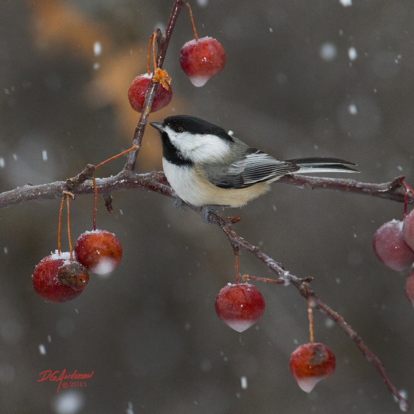 Don Anderson - Chickadee in the snow Print