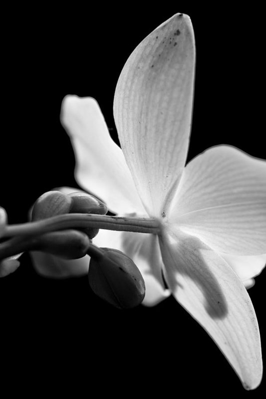 Laura Marie Jones - Black and White Orchid  Print
