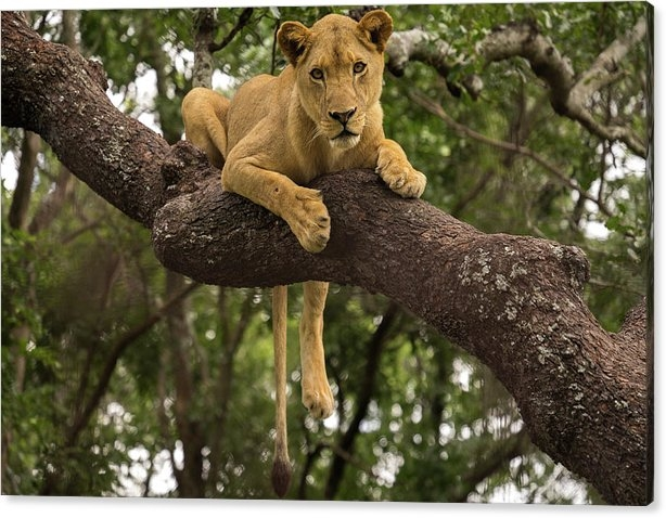 Alex Sardanis - Lioness In Tree Print