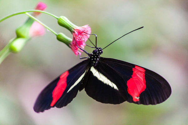 Craig Lapsley - Postman butterfly feeding Print