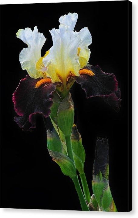 Dave Mills - Tricolor Iris Print
