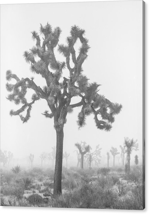 Alex Snay - Joshua Tree in Fog 2 Print