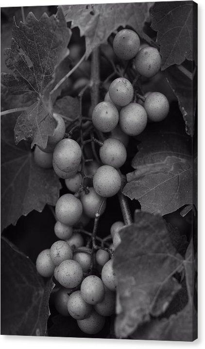 Matt Plyler - Muscadine Grapes in Black... Print
