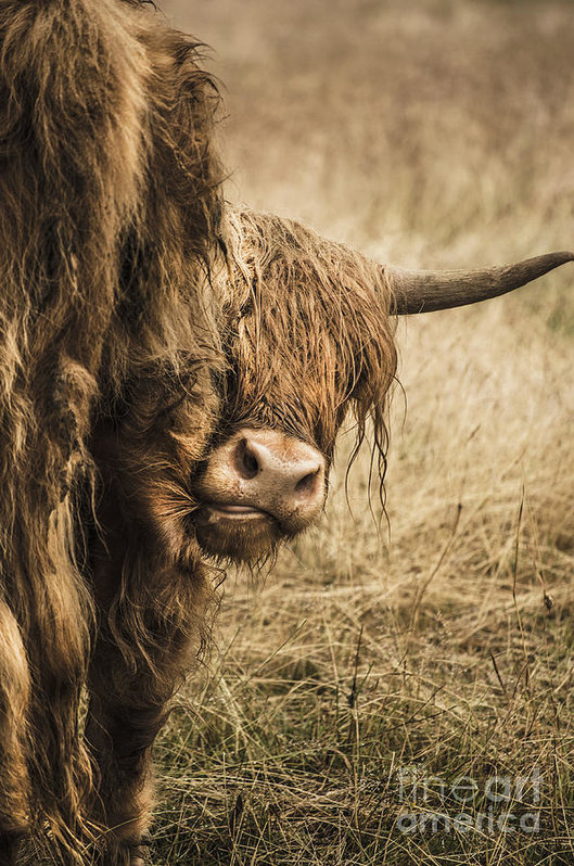 Linsey Williams -  Highland Cow Damn Fleas Print