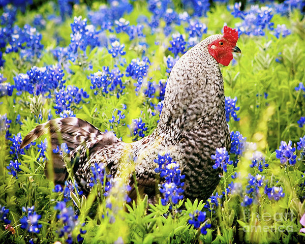 Katya Horner - Rooster and Bluebonnets Print
