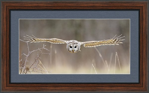 Scott  Linstead - Barred Owl in Flight Print