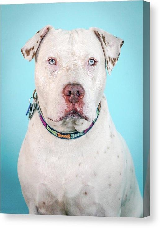 Pit Bull Headshots by Headshots Melrose - Cara Print