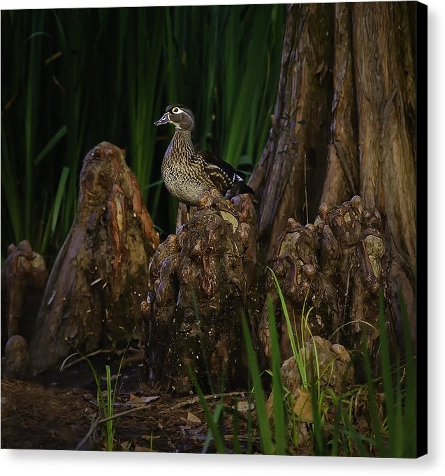 Donna  Futrell - Female Wood Duck Print