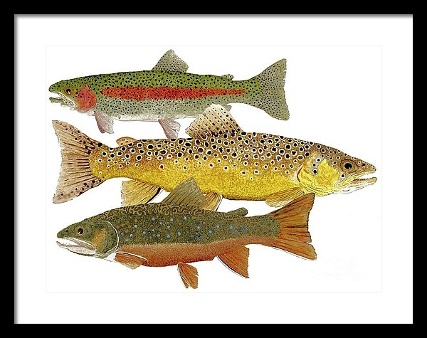 Thom Glace - Common Trout  Rainbow Bro... Print