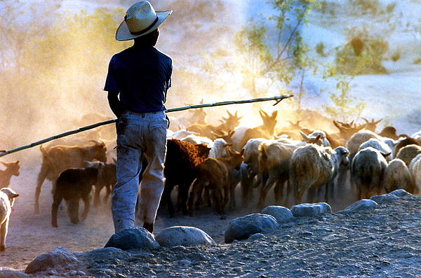Phyllis Kaltenbach -  Herder Going Home in Mexico
