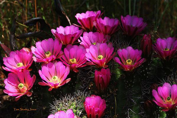 Tom Janca - Cactus Flowers At The Arboretum