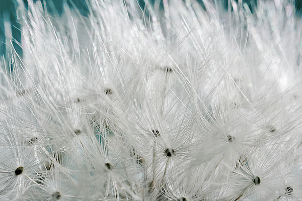 close up dandelion seeds prague czech yoga mat for sale by panoramic images. Black Bedroom Furniture Sets. Home Design Ideas
