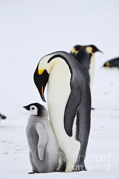 Emperor Penguin Chick And Parent Throw Pillow For Sale By Greg Dimijian