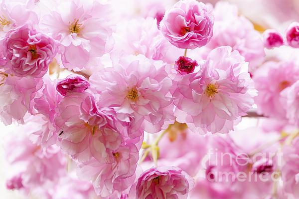 Elena Elisseeva - Pink cherry blossoms