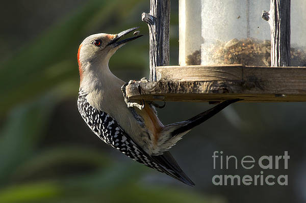 Meg Rousher - Red bellied Woodpecker