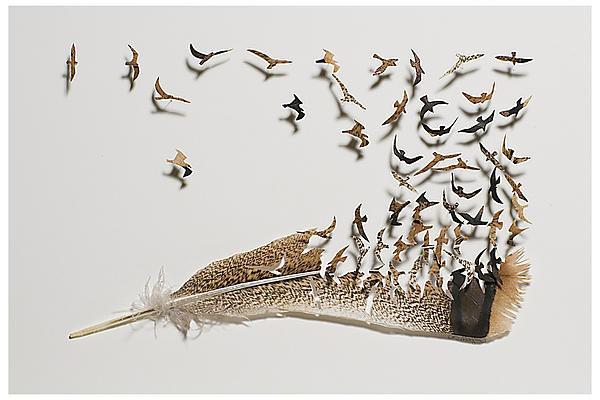 Chris Maynard - Where Feathers Come From