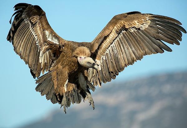 おしゃれな Flying Vulture - さのばりも